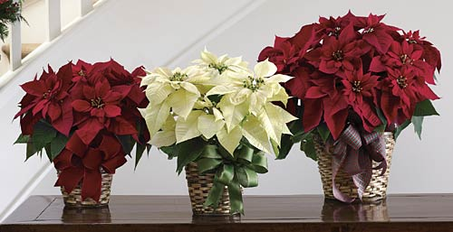 Birth Month Flower Of December The Poinsettia