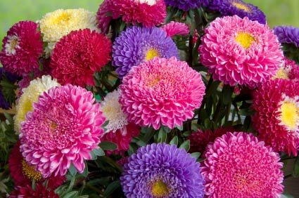 Birth Month Flower Of September The Aster
