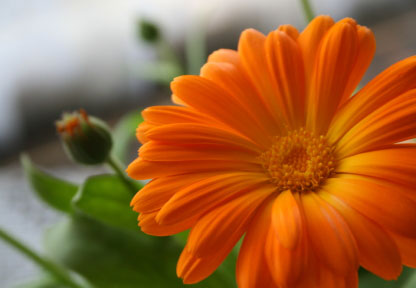 Birth Month Flower of October - The Calendula