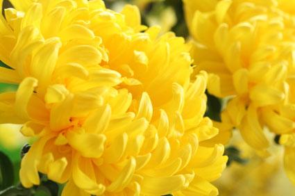 Birth Month Flower Of November The Chrysanthemum