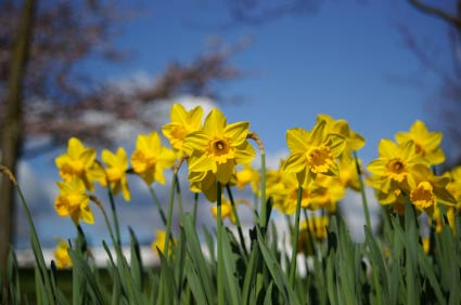 Birth Month Flower Of March The Daffodil