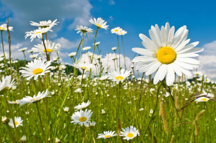 birth month flower of april  the daisy, Beautiful flower