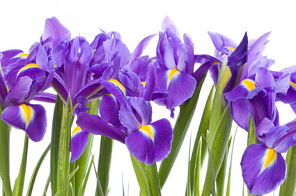 Birth Month Flower Of February The Iris