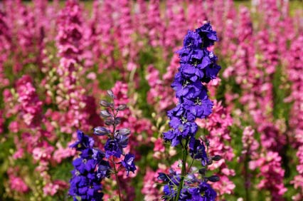 Birth Month Flower Of July The Larkspur