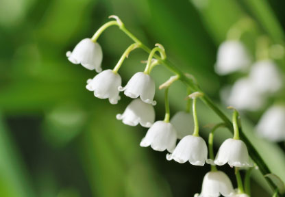 Birth Month Flower of May - The Lily of the Valley