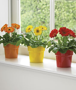 Gerbera Daisies on Window Sill
