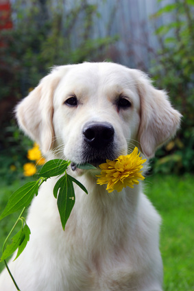 Yellow Lab with Flower
