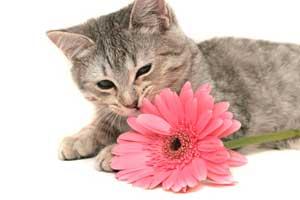kitten gerbera daisy