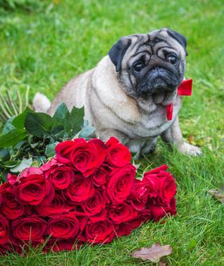 pug likes his roses