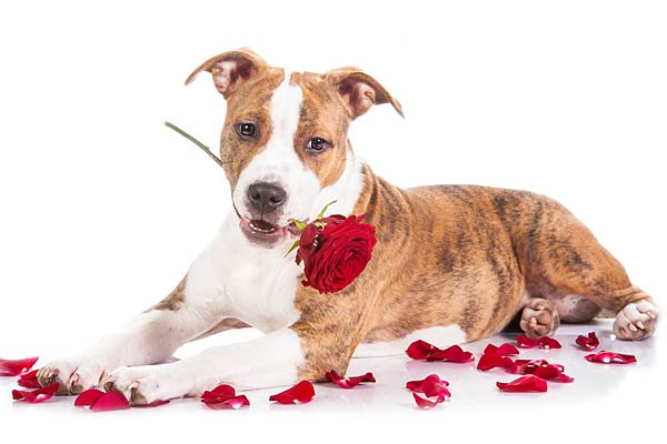puppy chews up roses - Are Christmas Cactus Poisonous To Dogs