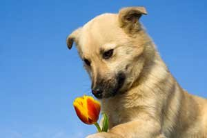 puppy smelling tulip