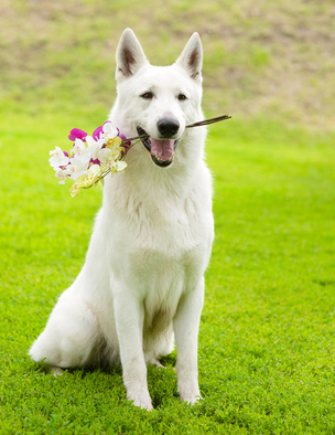 swiss shepherd with orchids