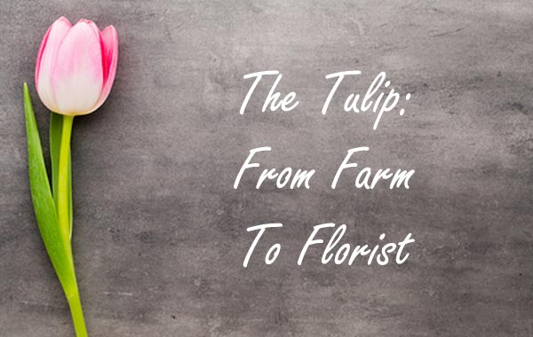 The Tulip: From Farm To Florist