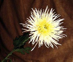 Fuji Chrysanthemums