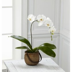 The White Phalaenopsis Orchid