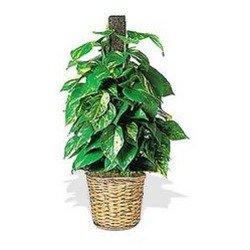 Ivy Pole Plant