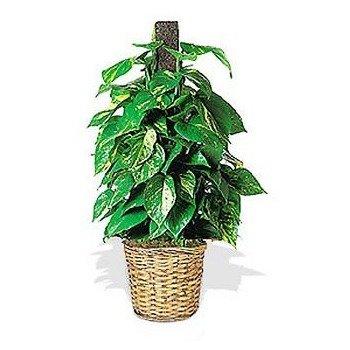 Ivy Pole Plant (Porthos Ivy)