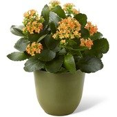 The FTD� Kalanchoe