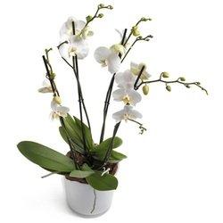 Milkywhite Phalaenopsis Orchid