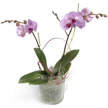 Sugarsweet Phalaenopsis Orchid