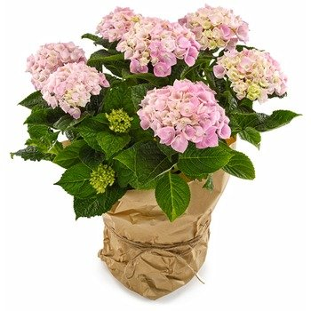 Lovely pink Hydrangea