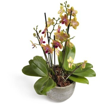 Dream come True Phalaenopsis Orchid