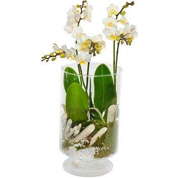 Stylish Orchid