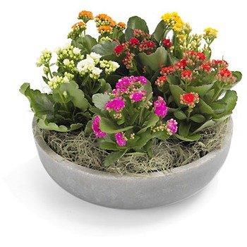 Compositions of Klanchoe Pot Plant