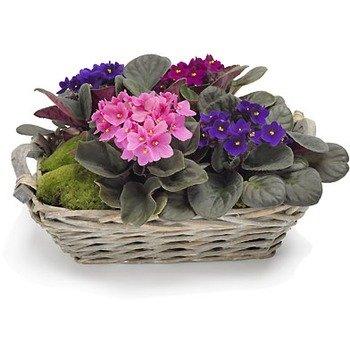 African Violet Pot Plant
