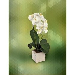 Plant of White Orchid