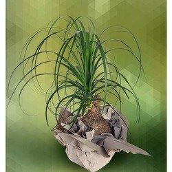 Plant of Beucarnea