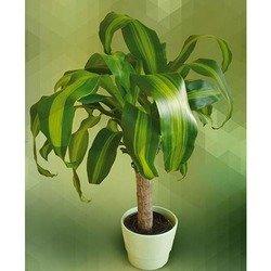 Plant of Dracena