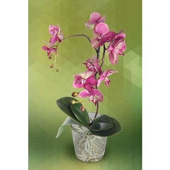 Plant of Hot Pink Phalenopsis