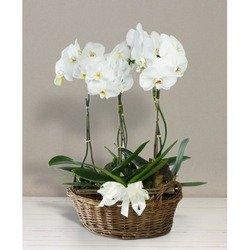 Cesto di Orchidee