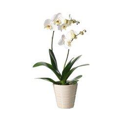 Single plant Phalaenopsis (White)