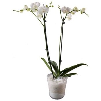 Orchid plant (without pot)