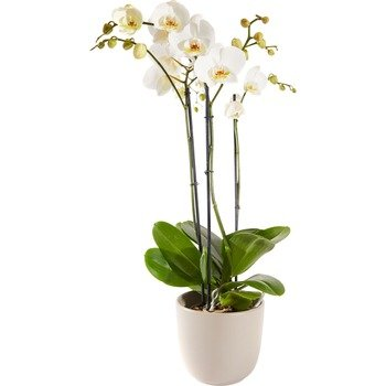 Orchid including pot