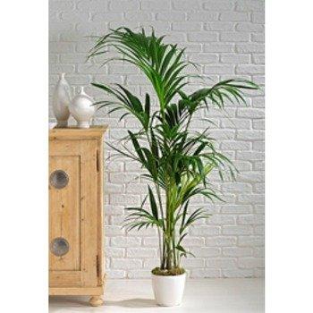 Kentia plant