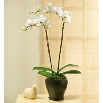 Phaleonopsis Orchid Plant in Pot
