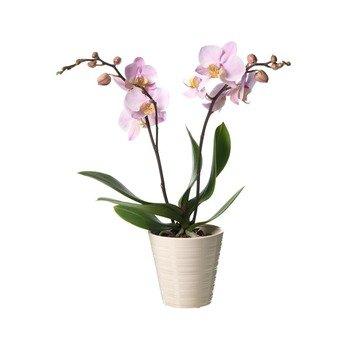 Single Plant Phalaenopsis
