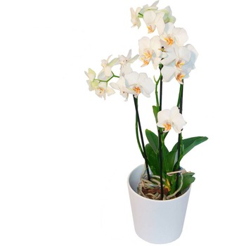 White Charm in a Pot
