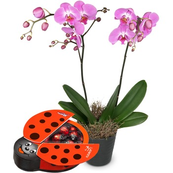 Deep pink Orchid (Phalaenopsis) in cachepot with chocolate ladybird