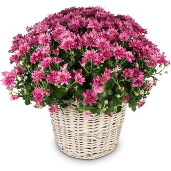 Chrysanthemum (pink) in a basket