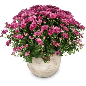 Chrysanthemum (pink) in a cachepot