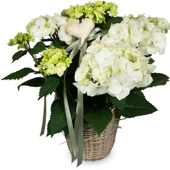 Romantic Vintage (white hydrangea)
