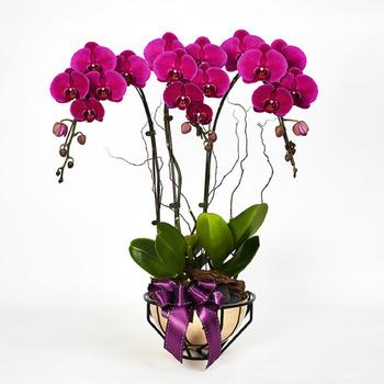 Royal Prosperity ... Purple Phalaenopsis