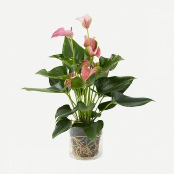 Plant - Pink Anthurium